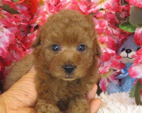 トイプードルの子犬(ID:1249511766)の2枚目の写真/更新日:2017-03-22