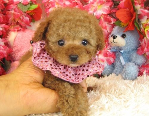 トイプードルの子犬(ID:1249511767)の2枚目の写真/更新日:2017-03-22