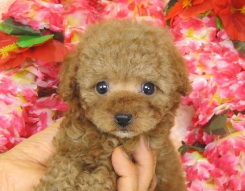 トイプードルの子犬(ID:1249511767)の3枚目の写真/更新日:2017-03-22