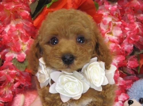トイプードルの子犬(ID:1249511768)の1枚目の写真/更新日:2017-03-22