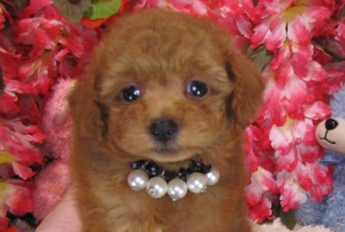 トイプードルの子犬(ID:1249511770)の1枚目の写真/更新日:2017-03-22