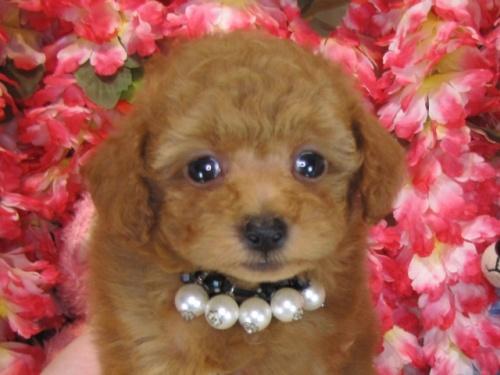 トイプードルの子犬(ID:1249511770)の2枚目の写真/更新日:2017-03-22