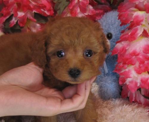 トイプードルの子犬(ID:1249511770)の3枚目の写真/更新日:2017-03-22