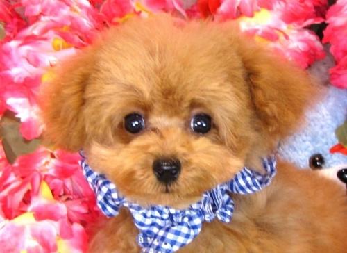 トイプードルの子犬(ID:1249511772)の1枚目の写真/更新日:2017-05-24