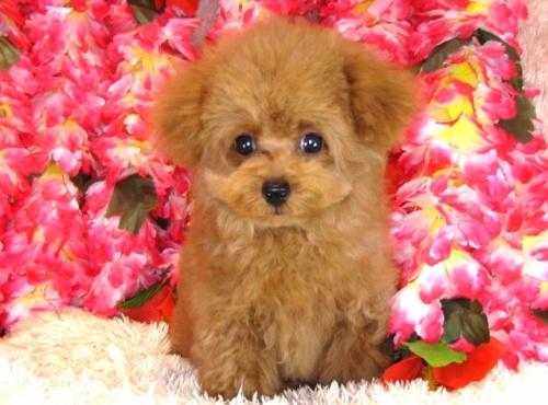トイプードルの子犬(ID:1249511772)の2枚目の写真/更新日:2017-03-27