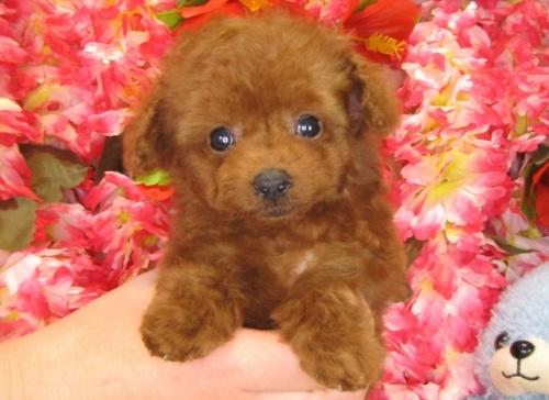 トイプードルの子犬(ID:1249511773)の1枚目の写真/更新日:2017-03-31