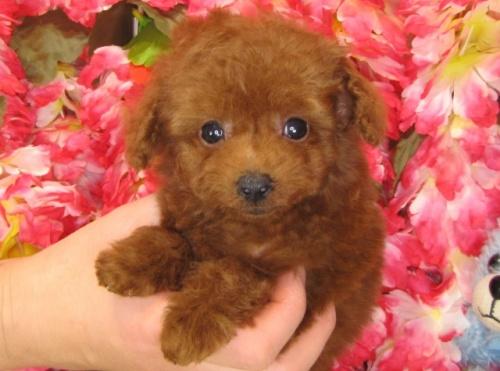 トイプードルの子犬(ID:1249511773)の3枚目の写真/更新日:2017-03-31