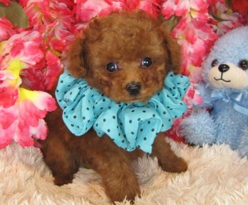 トイプードルの子犬(ID:1249511775)の1枚目の写真/更新日:2017-03-31