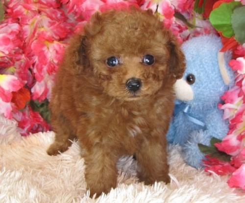 トイプードルの子犬(ID:1249511775)の3枚目の写真/更新日:2017-03-31