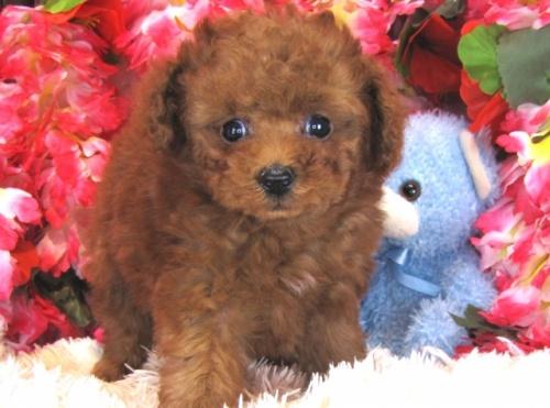 トイプードルの子犬(ID:1249511775)の4枚目の写真/更新日:2017-03-31