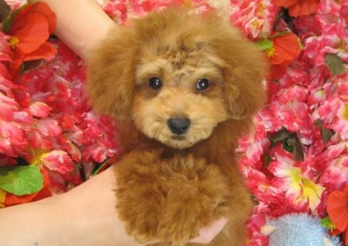 トイプードルの子犬(ID:1249511777)の1枚目の写真/更新日:2017-04-04