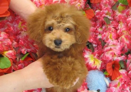 トイプードルの子犬(ID:1249511777)の2枚目の写真/更新日:2017-04-04
