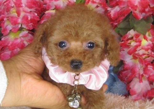 トイプードルの子犬(ID:1249511781)の1枚目の写真/更新日:2017-04-10