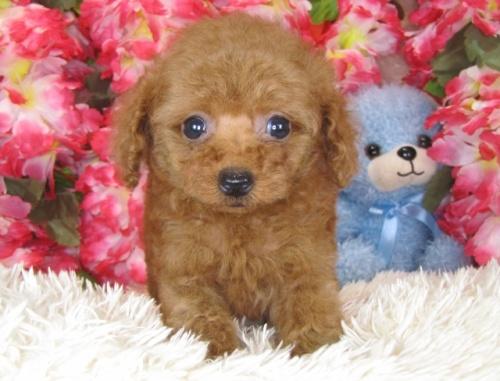 トイプードルの子犬(ID:1249511781)の2枚目の写真/更新日:2017-04-10
