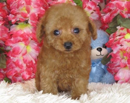 トイプードルの子犬(ID:1249511782)の1枚目の写真/更新日:2017-04-10