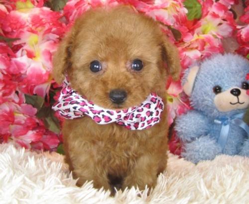 トイプードルの子犬(ID:1249511782)の2枚目の写真/更新日:2017-04-10