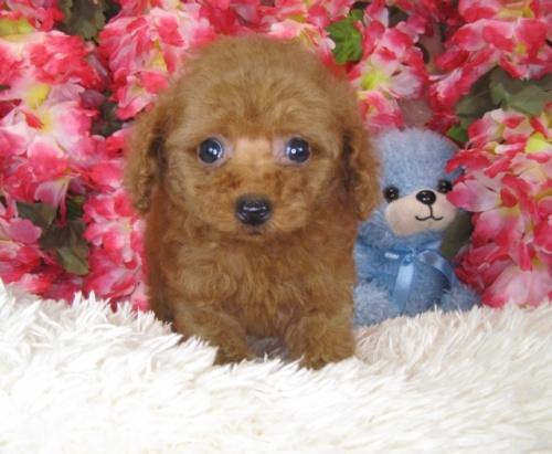 トイプードルの子犬(ID:1249511782)の3枚目の写真/更新日:2017-04-10