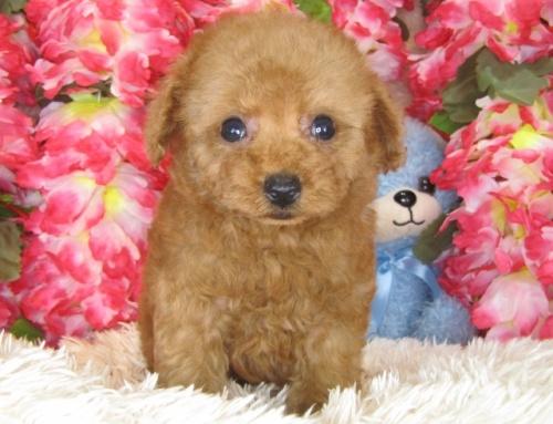 トイプードルの子犬(ID:1249511782)の5枚目の写真/更新日:2017-04-10