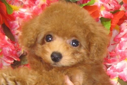 トイプードルの子犬(ID:1249511784)の1枚目の写真/更新日:2017-04-17
