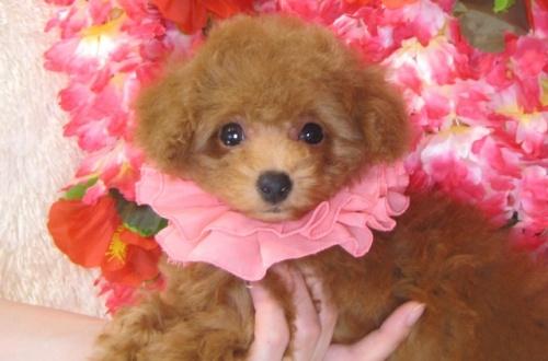 トイプードルの子犬(ID:1249511784)の2枚目の写真/更新日:2017-04-17