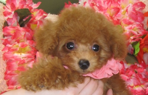 トイプードルの子犬(ID:1249511784)の4枚目の写真/更新日:2017-04-17