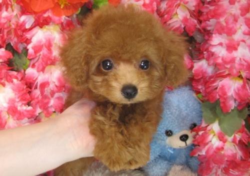 トイプードルの子犬(ID:1249511784)の5枚目の写真/更新日:2017-04-17