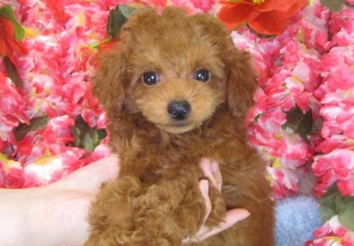 トイプードルの子犬(ID:1249511785)の1枚目の写真/更新日:2017-04-17