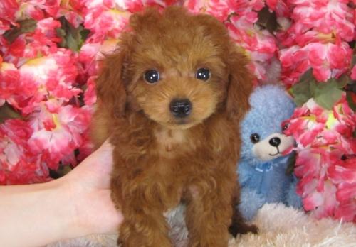 トイプードルの子犬(ID:1249511785)の2枚目の写真/更新日:2017-04-17
