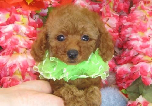 トイプードルの子犬(ID:1249511786)の1枚目の写真/更新日:2017-04-17