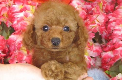 トイプードルの子犬(ID:1249511786)の2枚目の写真/更新日:2017-04-17