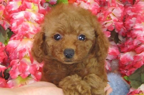 トイプードルの子犬(ID:1249511786)の3枚目の写真/更新日:2017-04-17