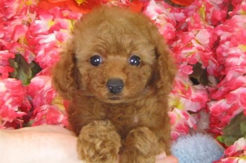 トイプードルの子犬(ID:1249511786)の4枚目の写真/更新日:2017-04-17