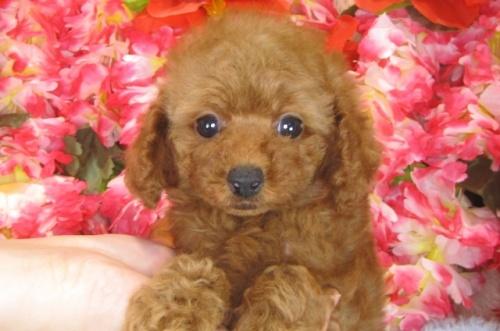 トイプードルの子犬(ID:1249511786)の5枚目の写真/更新日:2017-04-17