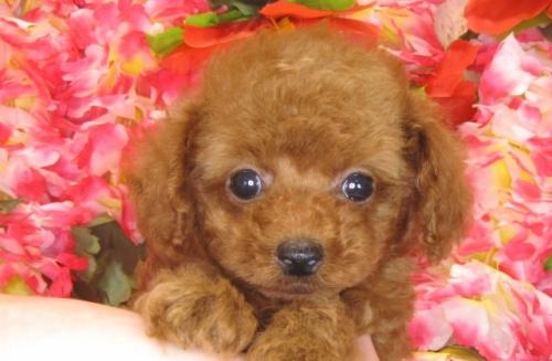 トイプードルの子犬(ID:1249511787)の1枚目の写真/更新日:2017-04-17