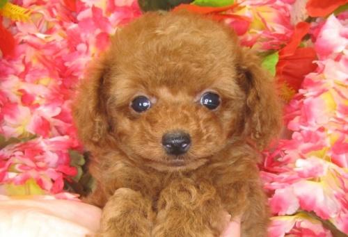 トイプードルの子犬(ID:1249511787)の2枚目の写真/更新日:2017-04-17