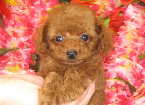 トイプードルの子犬(ID:1249511787)の3枚目の写真/更新日:2017-04-17