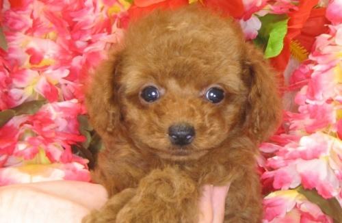 トイプードルの子犬(ID:1249511787)の4枚目の写真/更新日:2017-04-17
