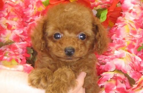 トイプードルの子犬(ID:1249511787)の5枚目の写真/更新日:2017-04-17