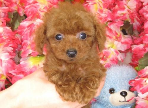 トイプードルの子犬(ID:1249511788)の1枚目の写真/更新日:2017-04-17