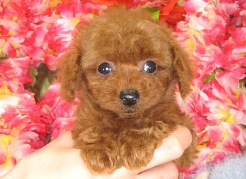 トイプードルの子犬(ID:1249511788)の2枚目の写真/更新日:2017-04-17