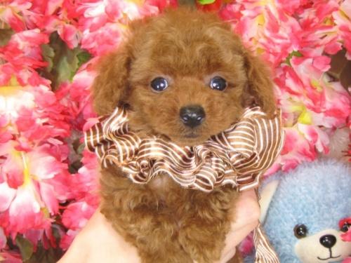 トイプードルの子犬(ID:1249511788)の3枚目の写真/更新日:2017-04-17