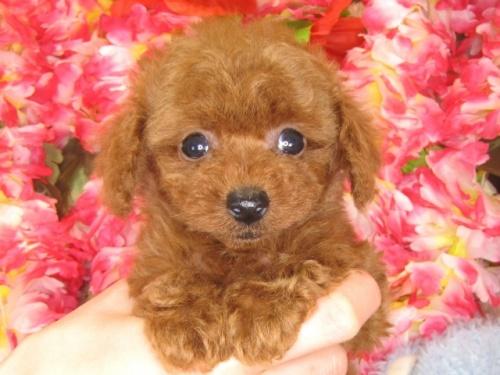 トイプードルの子犬(ID:1249511788)の4枚目の写真/更新日:2017-04-17