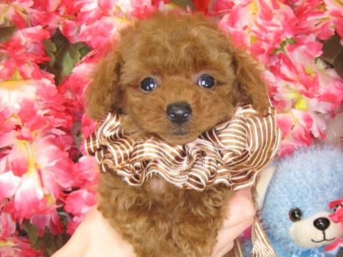 トイプードルの子犬(ID:1249511788)の5枚目の写真/更新日:2017-04-17