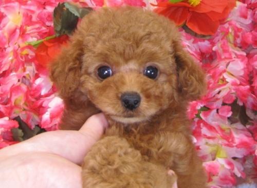 トイプードルの子犬(ID:1249511789)の1枚目の写真/更新日:2017-04-24