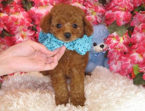 トイプードルの子犬(ID:1249511789)の2枚目の写真/更新日:2017-04-24