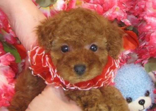 トイプードルの子犬(ID:1249511790)の1枚目の写真/更新日:2017-04-26