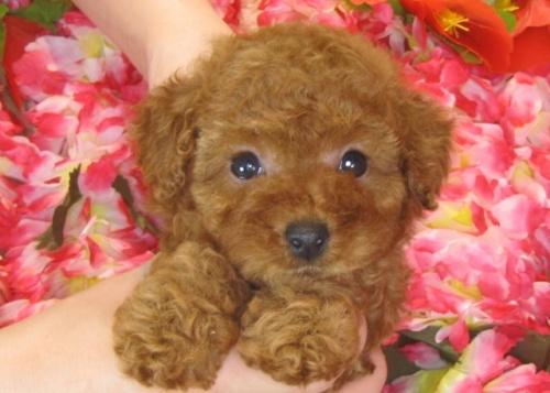 トイプードルの子犬(ID:1249511790)の2枚目の写真/更新日:2017-04-26