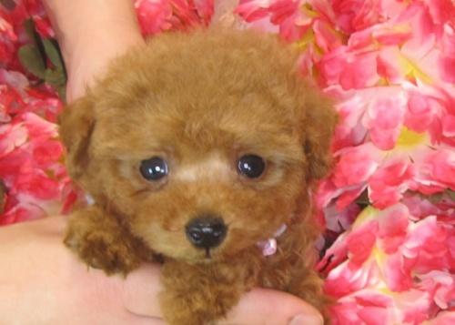トイプードルの子犬(ID:1249511791)の1枚目の写真/更新日:2017-04-26