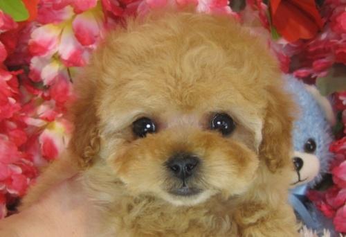 トイプードルの子犬(ID:1249511792)の1枚目の写真/更新日:2017-04-26