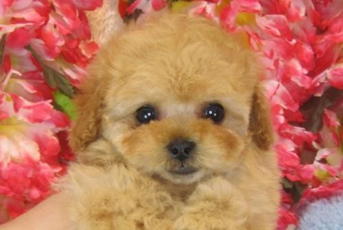 トイプードルの子犬(ID:1249511792)の2枚目の写真/更新日:2017-04-26
